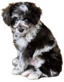 Aussiedoodle Puppy Breeder Upper Peninsula Michigan Doodle Puppy, Standard Poodle, Parti Color Poodle, Black Poodle, Black Goldendoodle, Black Standard Poodle, Wisconsin, Iowa, Minnesota, Marquette, Escanaba, Iron Mountain