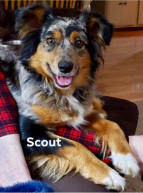 Scout Aussie Female