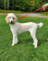 Max Poodle Male