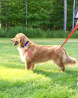 Lily Golden Retriever Female