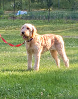 Lucy Goldendoodle Female
