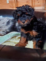 Reese Aussiedoodle Female - future mom