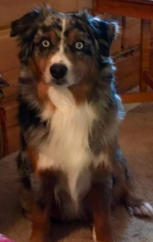 Maverick Australian Shepherd Male